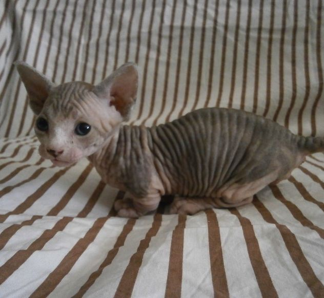 Dwelf Cat: Dwelf Sphynx Cat Temperament Breed