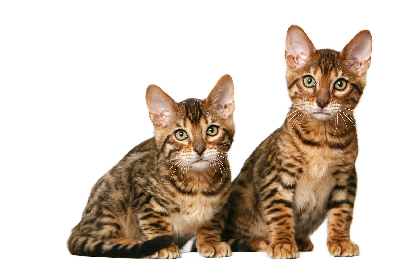 Dwelf Cat: Dwelf Toyger S Breed