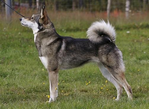 East Siberian Laika Dog: East East Siberian Laika Breed