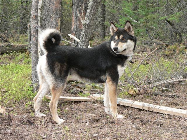 East Siberian Laika Dog: East East Siberian Laika Dog Near The Tree Breed