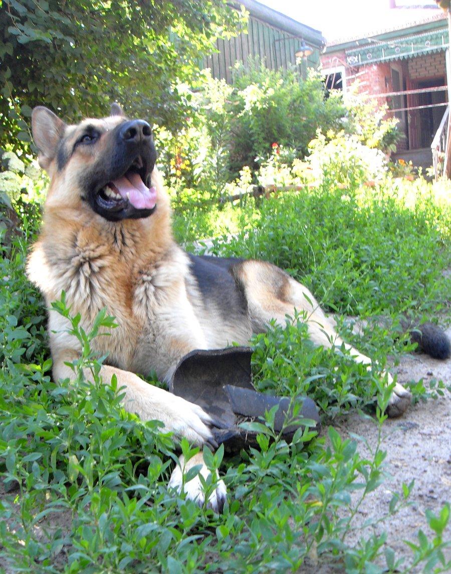 East-European Shepherd Dog: East European Happy East European Shepherd Dog Breed