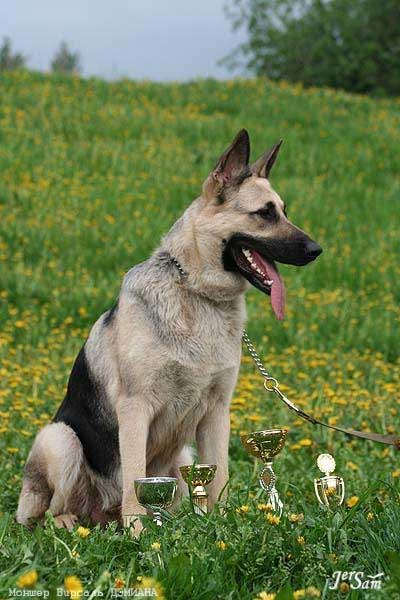 East-European Shepherd Puppies: East European Ph Vostochnoevropeyskaya Ovcharka Breed