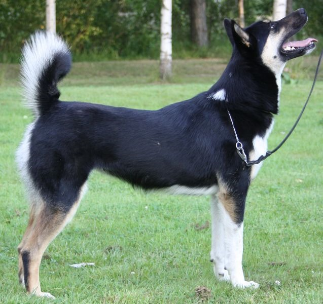 East Siberian Laika Dog: East Wolf Dogsworking Dogs Breed
