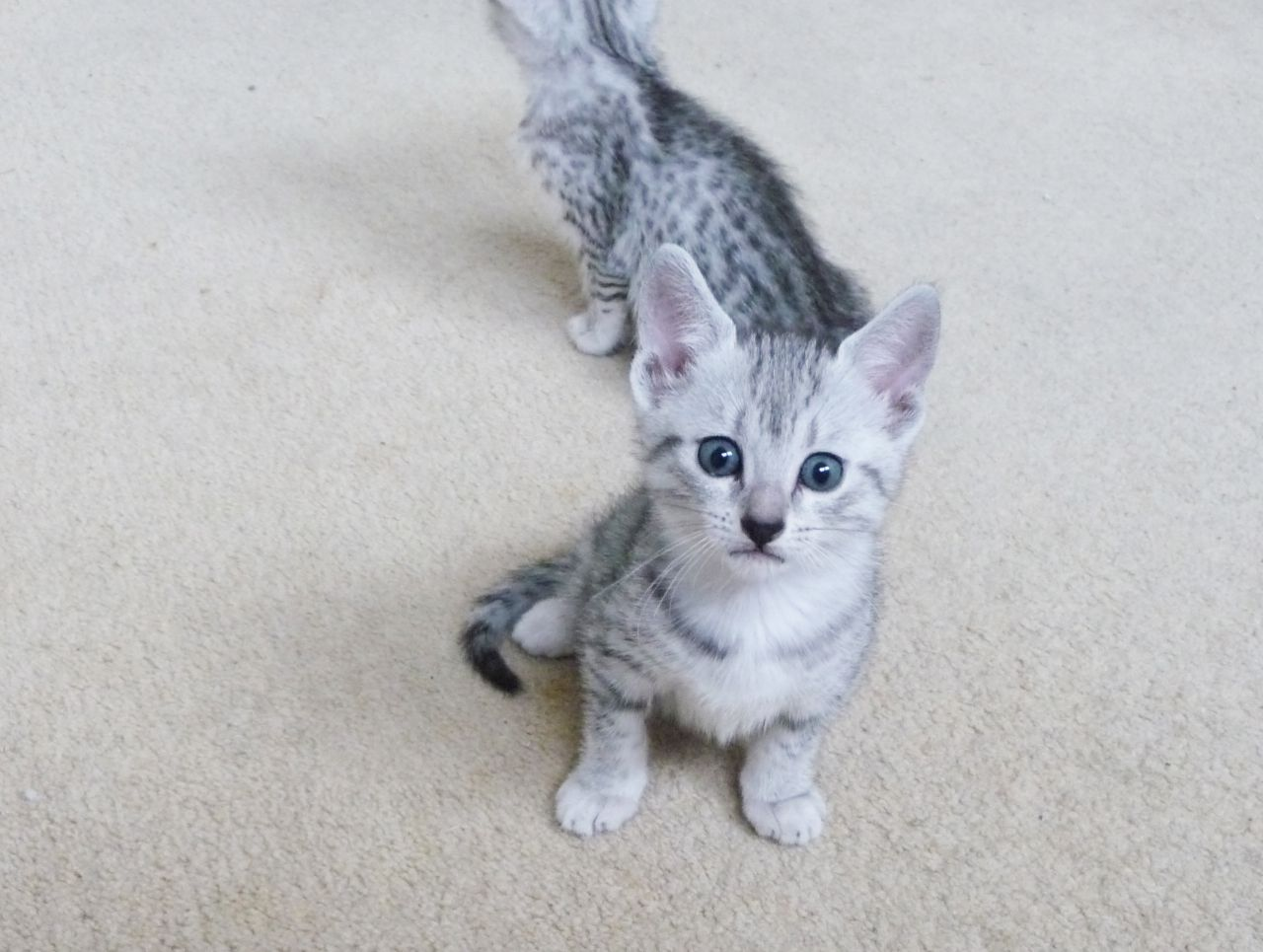 Egyptian Mau Kitten: Egyptian Beautiful Pedigree Egyptian Mau Kittens For Sale Swindon Breed