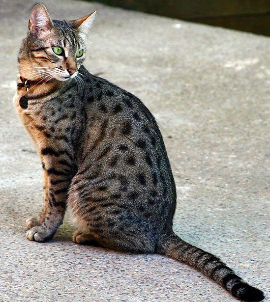 Egyptian Mau Cat: Egyptian Egyptian Mau Cat Breed