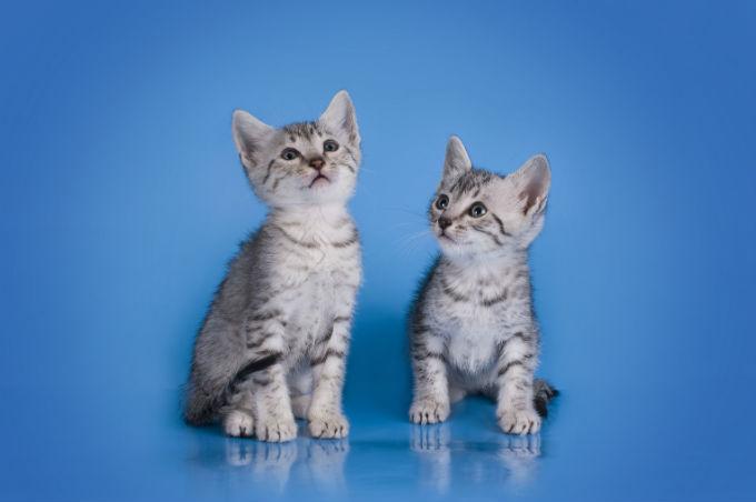 Egyptian Mau Cat: Egyptian Egyptian Mau Cats Breed
