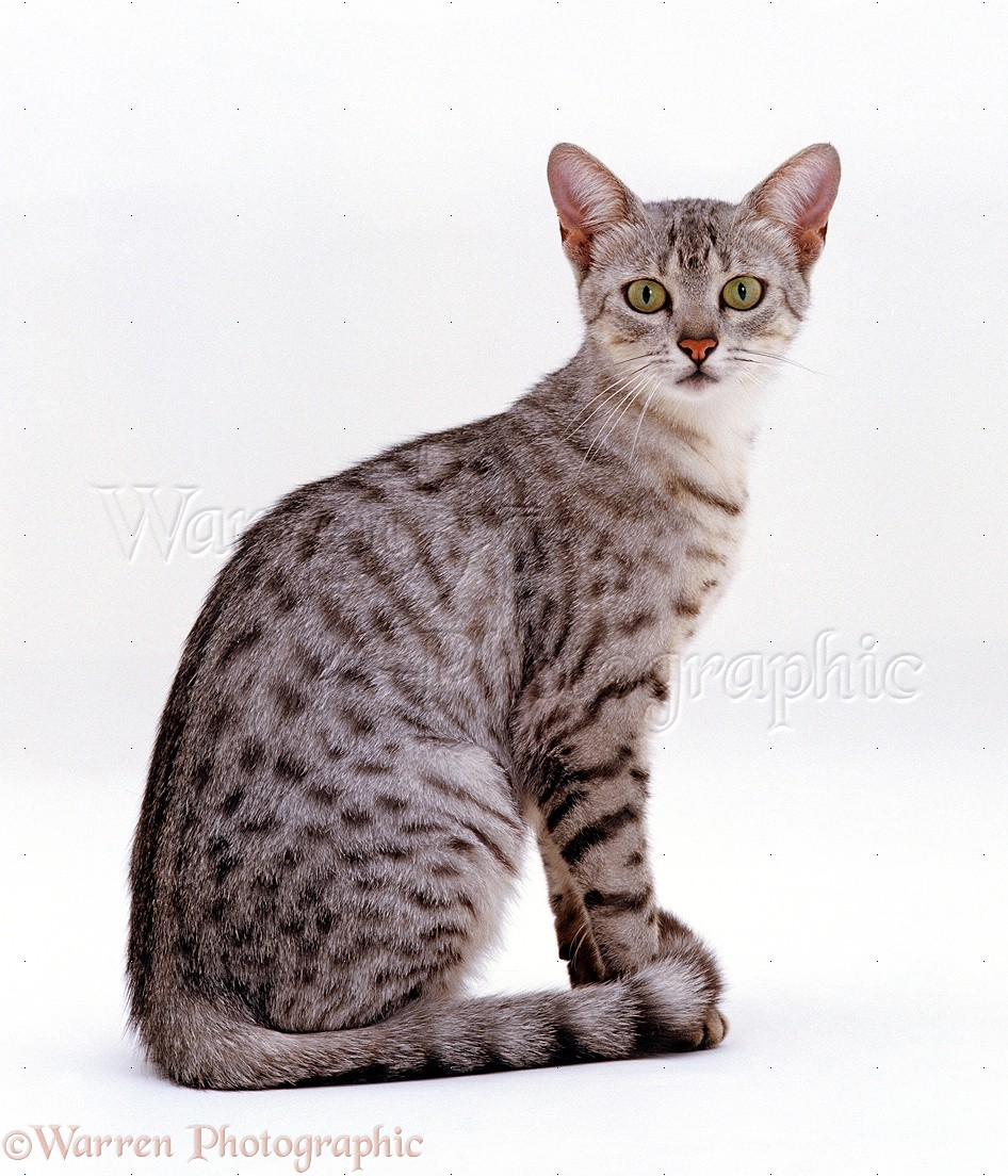 Egyptian Mau Cat: Egyptian F Breed