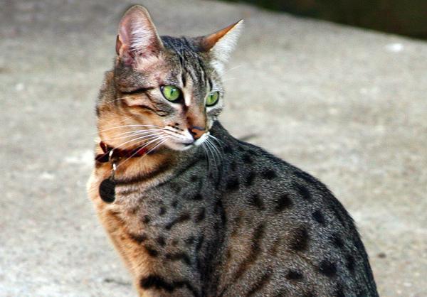 Egyptian Mau Cat: Egyptian Funstoc Breed