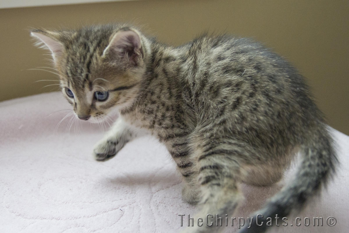 Egyptian Mau Kitten - Puppy Dog Gallery