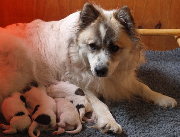 Elo Puppies: Elo De Elo Rashond Is Een Fijne Familiehond Breed