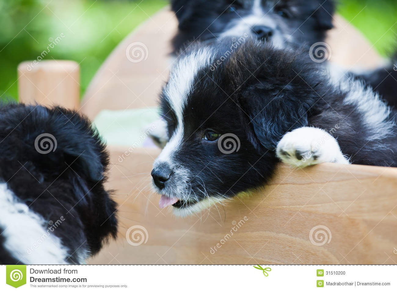 Elo Puppies: Elo Stock Funny Scene Puppies Elo German Dog Breed Where One Puppy Sticks Tongue Out