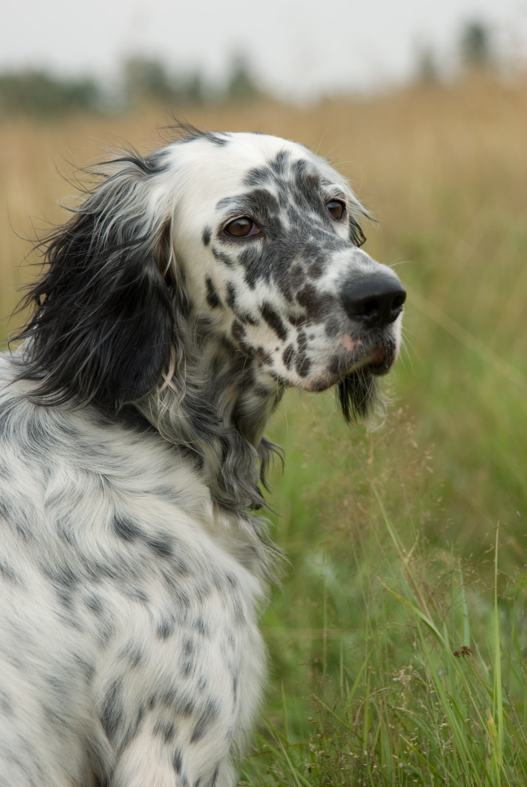 English Setter Dog: English Beautiful English Setter Dog Breed