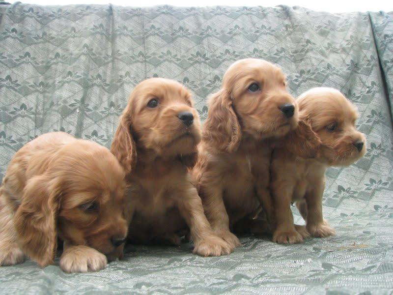 English Cocker Spaniel Puppies: English Bennykennels Cocker Spaniel English Breed