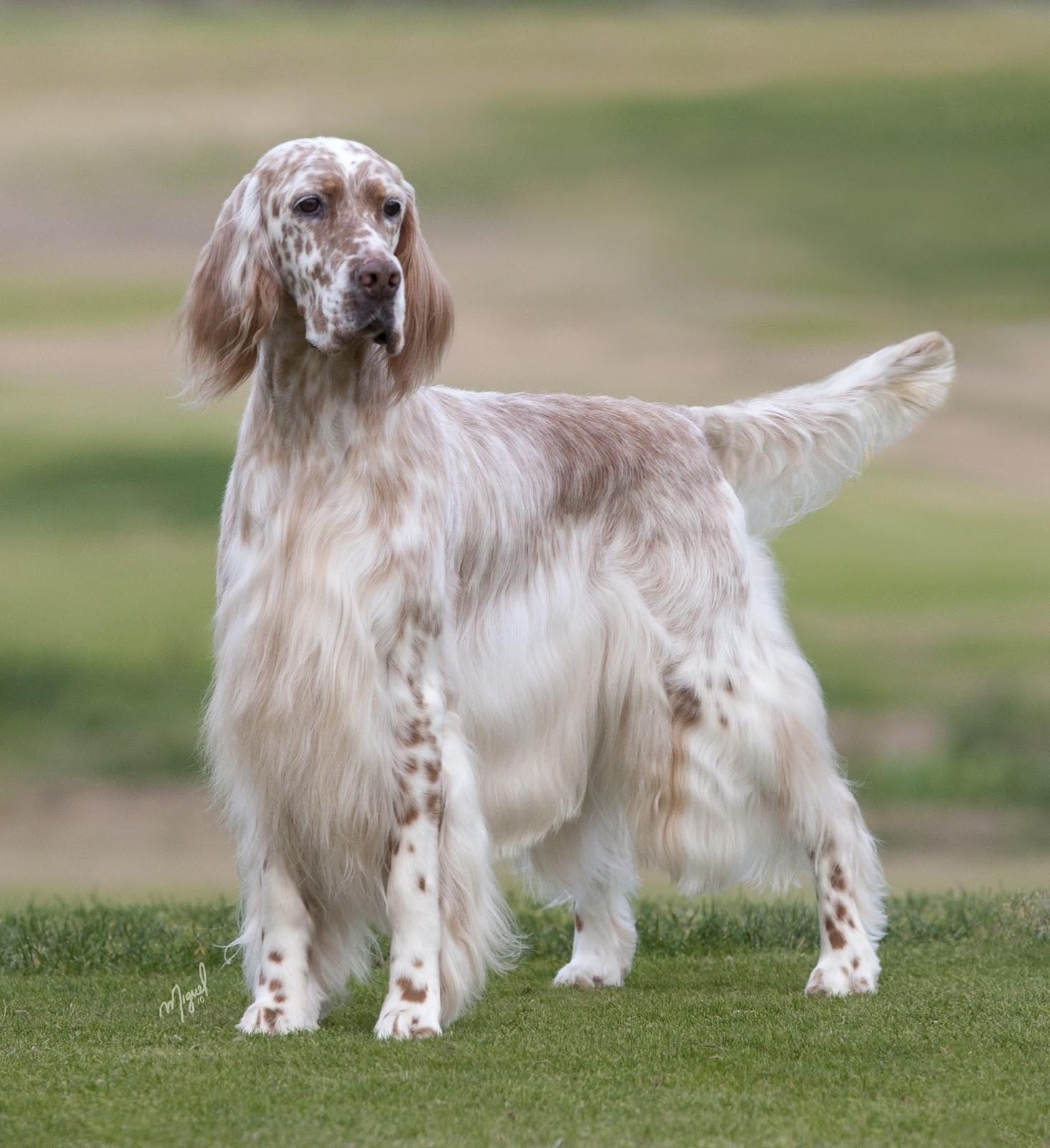 English Setter Dog: English Bonny English Setter Dog Breed