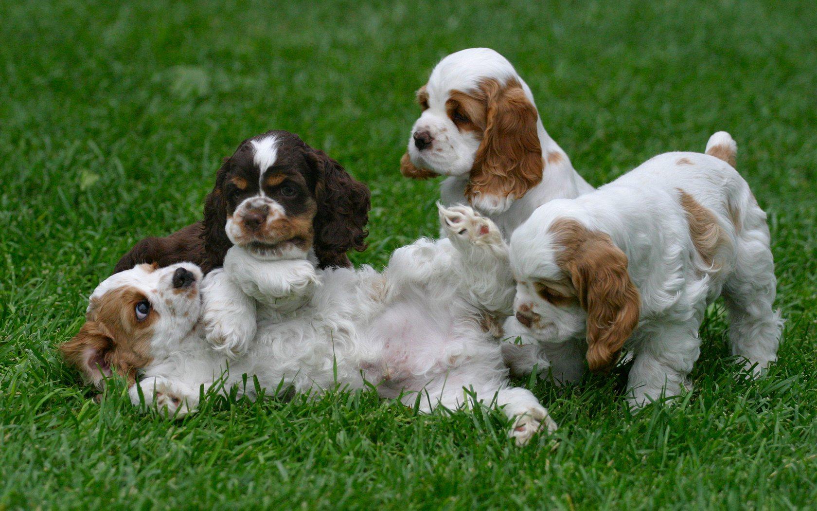 English Cocker Spaniel Puppies: English Cocker Spaniel Breed