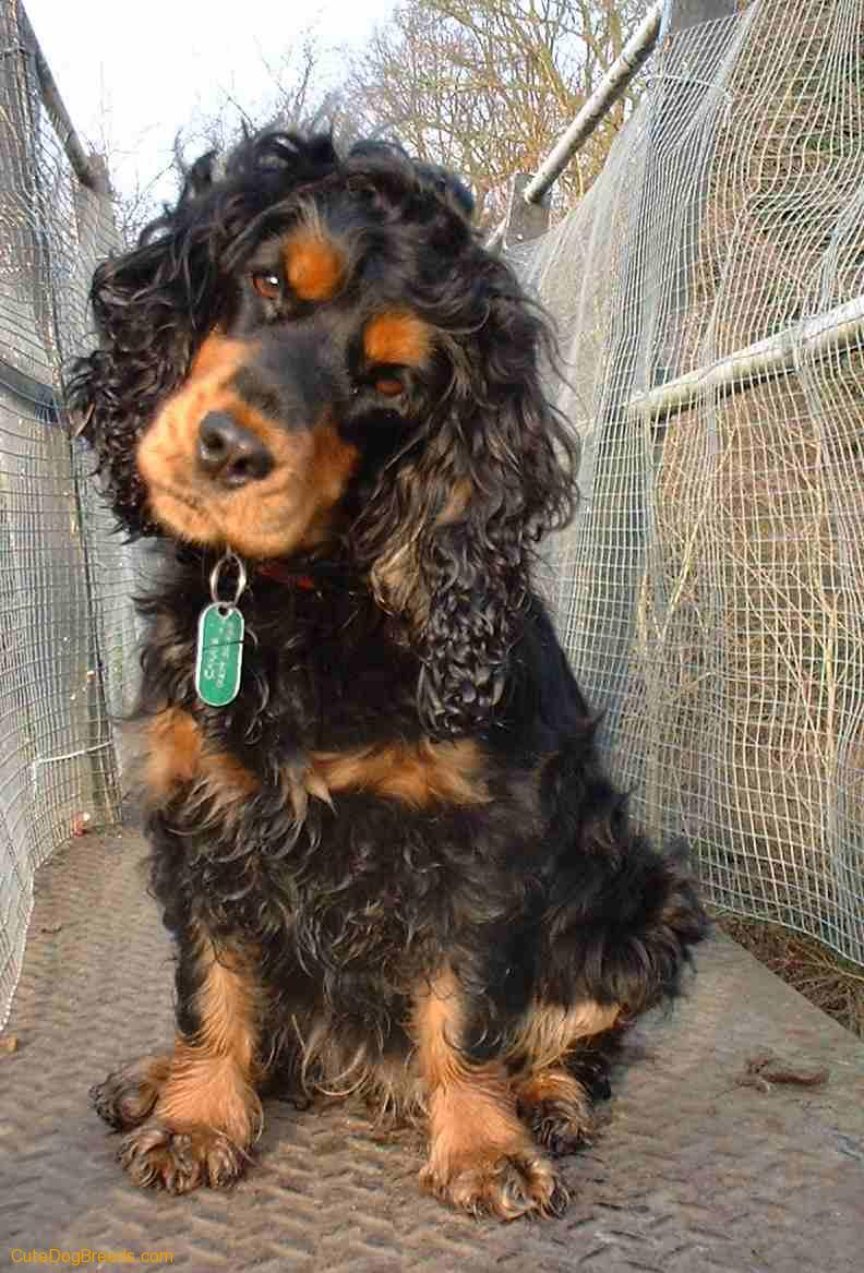 English Cocker Spaniel Dog: English Cocker Spaniel Pictures Breed