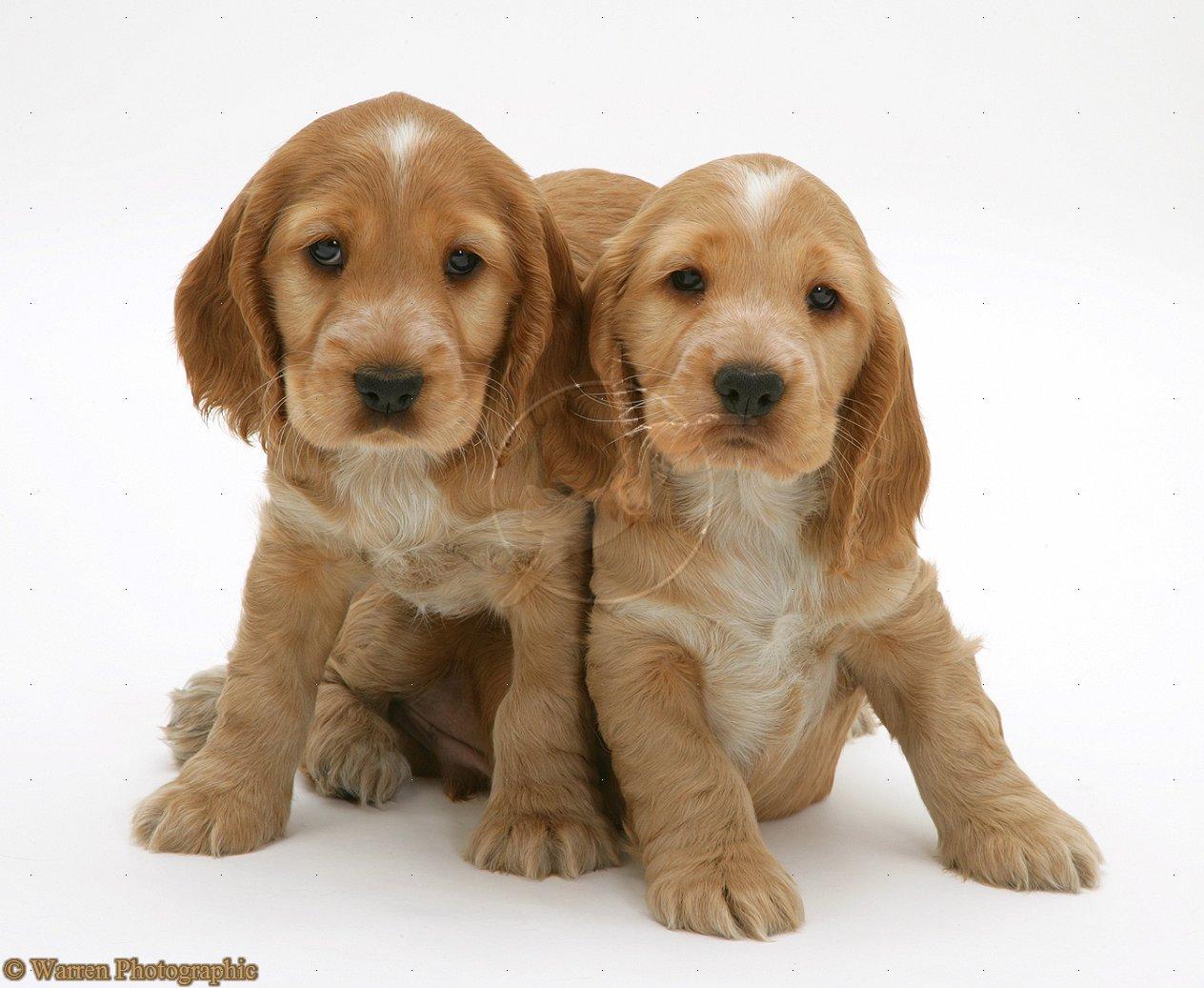 English Cocker Spaniel Puppies: English Cocker Spaniel Puppies Breed