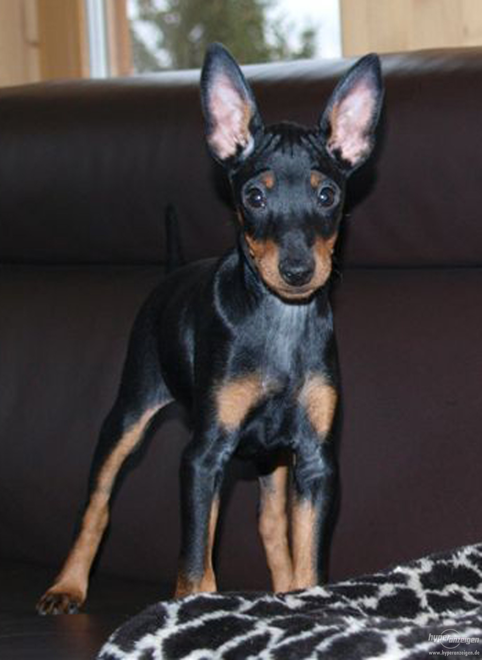 English Toy Terrier (Black & Tan) Puppies: English Coton De Tulear Dog Breed
