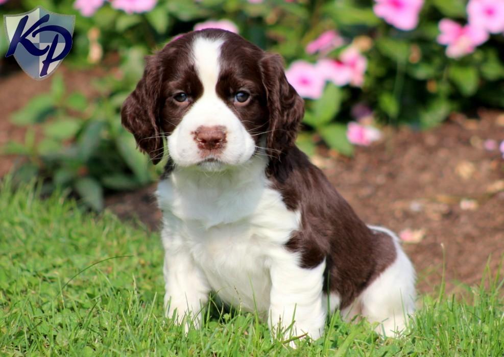 English Springer Spaniel Puppies: English Daphne Breed