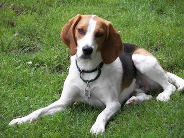 English Foxhound Dog: English Dog Breed Of The Day English Foxhound