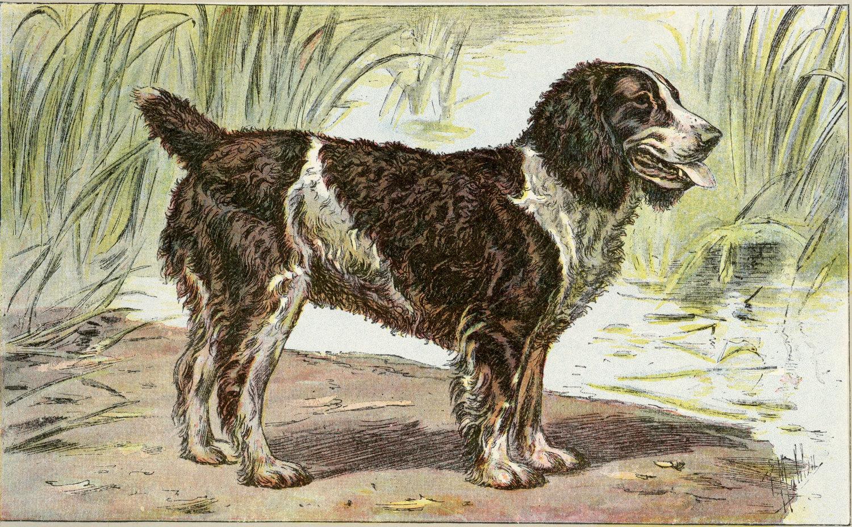 English Water Spaniel Dog: English Dog Print English Water Spaniel Breed
