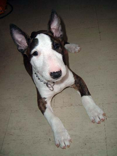 English White Terrier Puppies: English English Bull Terriers On Atypically Breed
