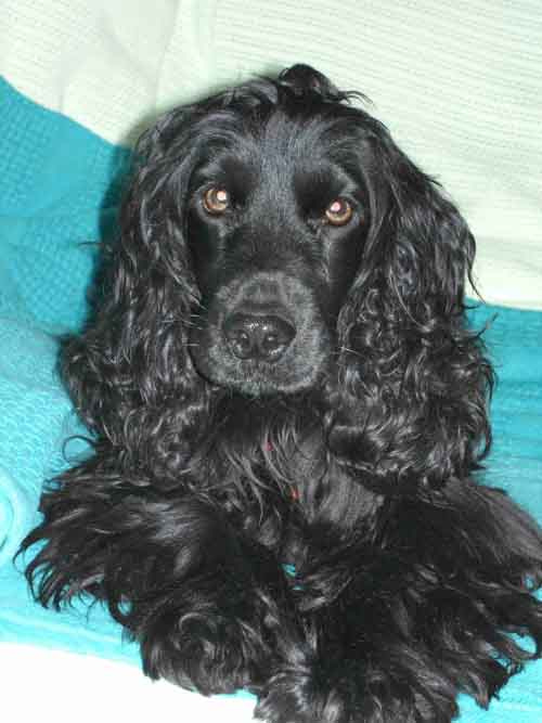 English Cocker Spaniel Dog: English English Cocker Spaniel Breed Standard