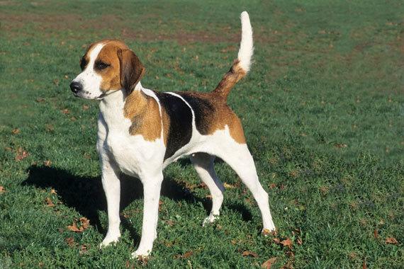 English Foxhound Dog: English English Foxhound Breed
