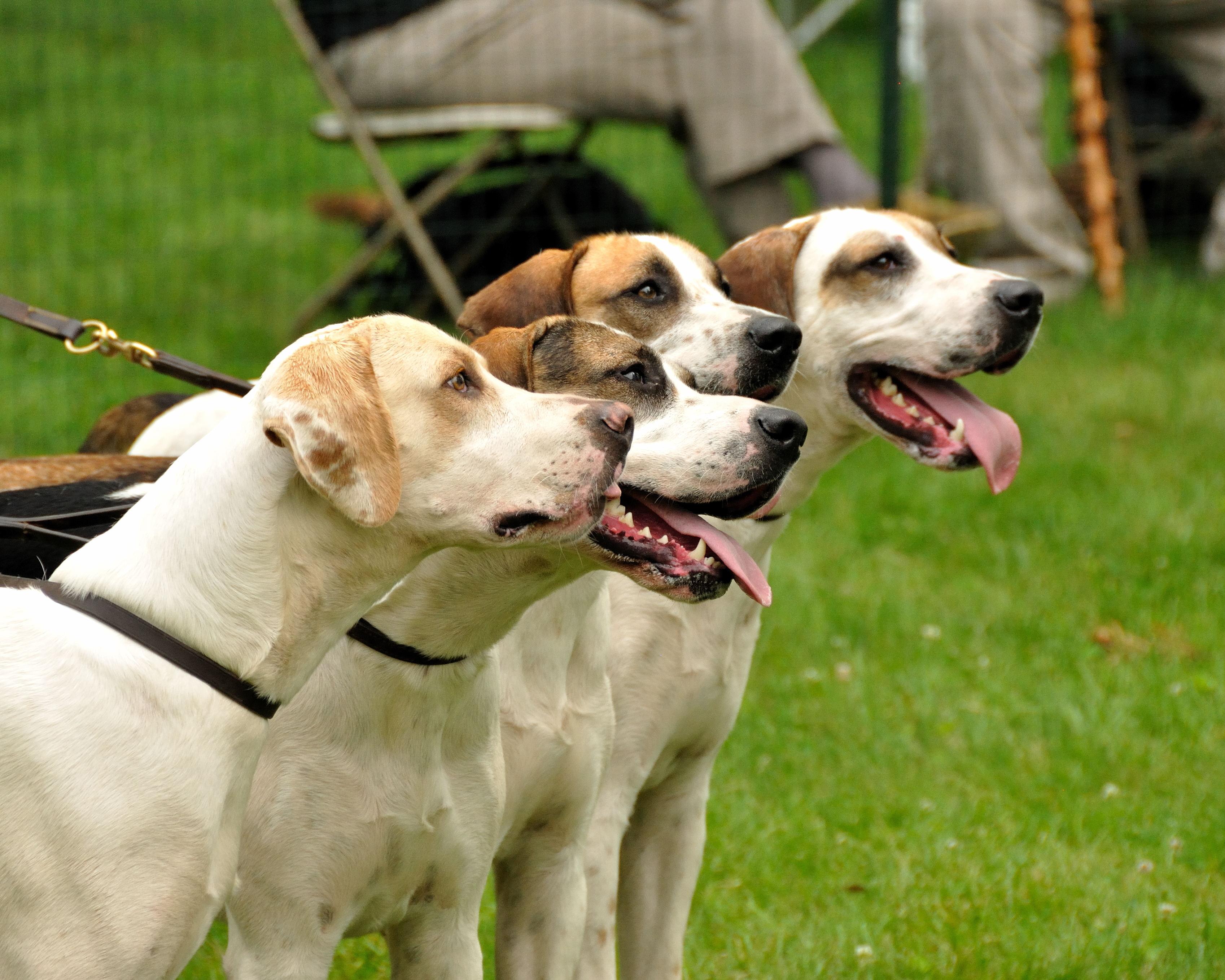 English Foxhound Puppies: English English Foxhound Dogs Breed