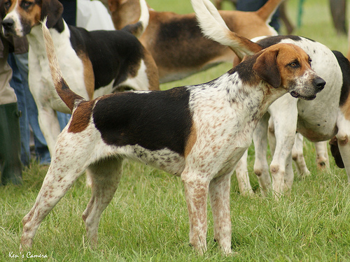 English Foxhound Puppies: English English Foxhound Favorite Pet Of Breed
