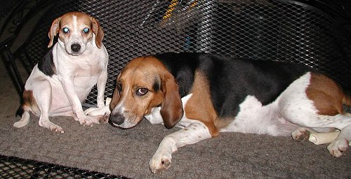 English Foxhound Puppies: English English Foxhound Pitbull Mix Breed