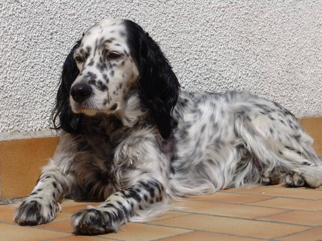 English Setter Dog: English English Setter Dog Rest On The Floor Breed