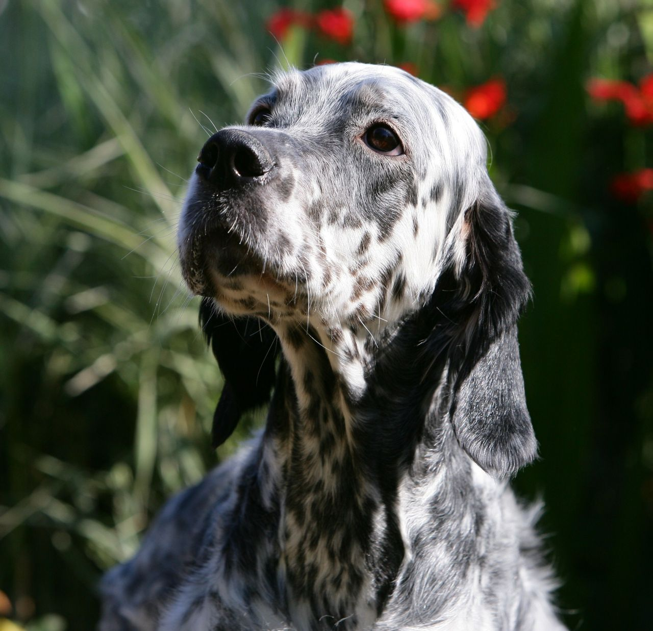 English Setter Puppies: English English Setter Puppies For Sale Coleford Breed