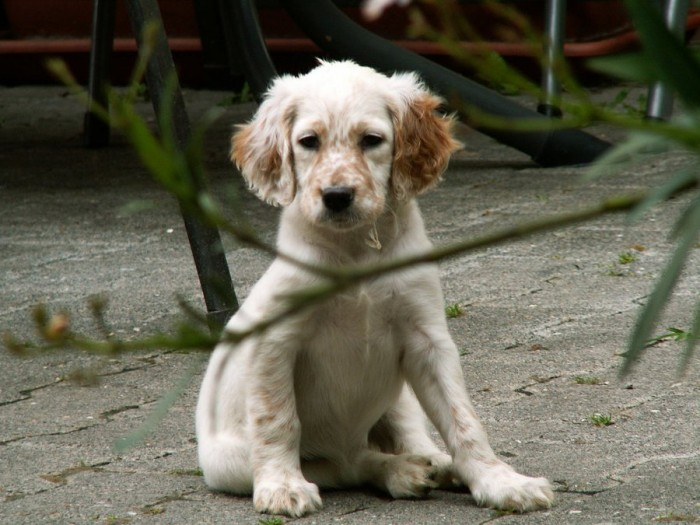 English Setter Puppies Puppy Dog Gallery
