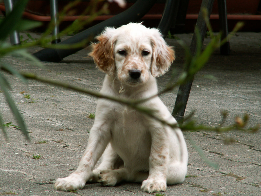 English Setter Puppies: English English Setter Puppy Pictures Breed