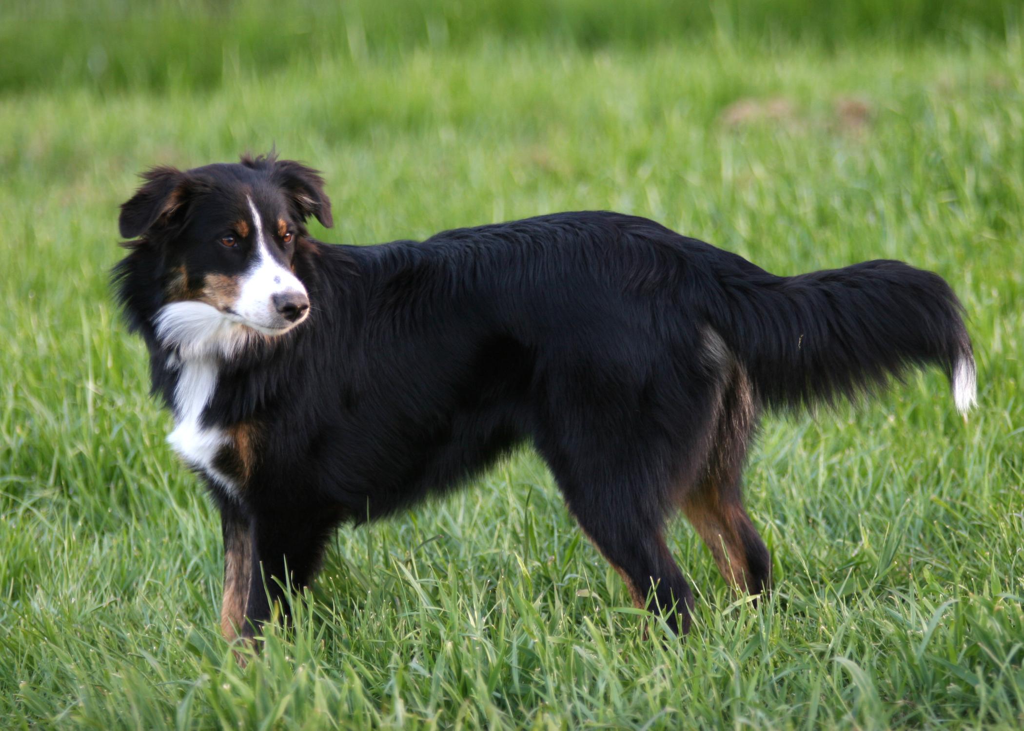 English Shepherd Dog: English English Shepherd Dog In The Field Breed