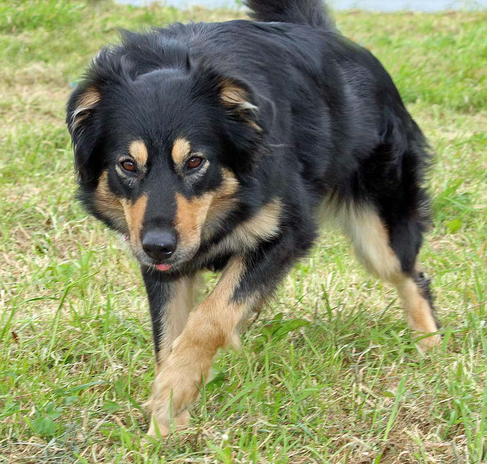 English Shepherd Dog: English English Shepherd Dog Looking At You Breed