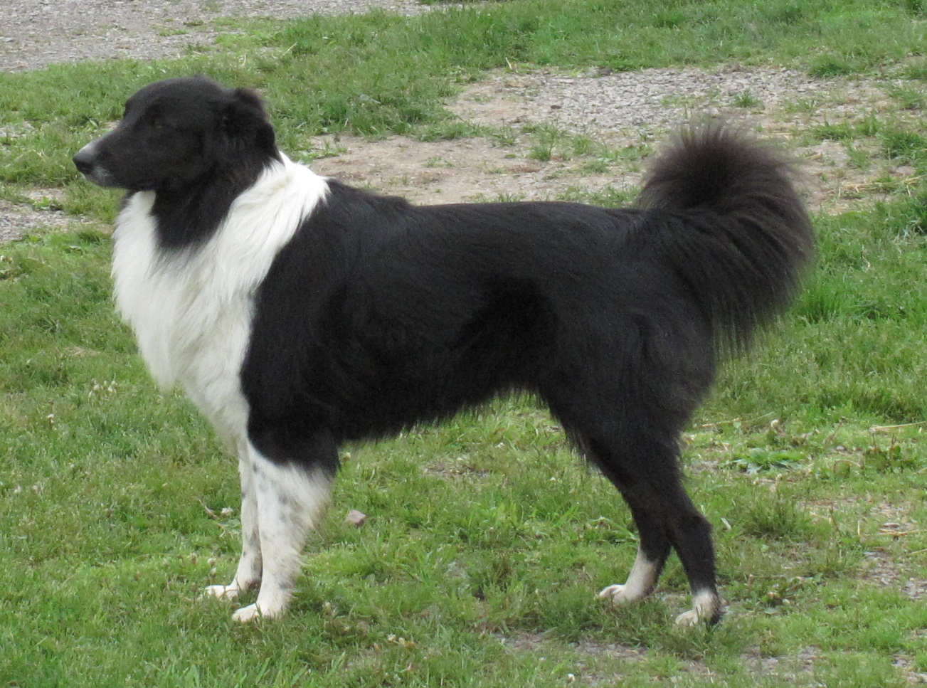 English Shepherd Dog: English English Shepherd Dog Side View Breed