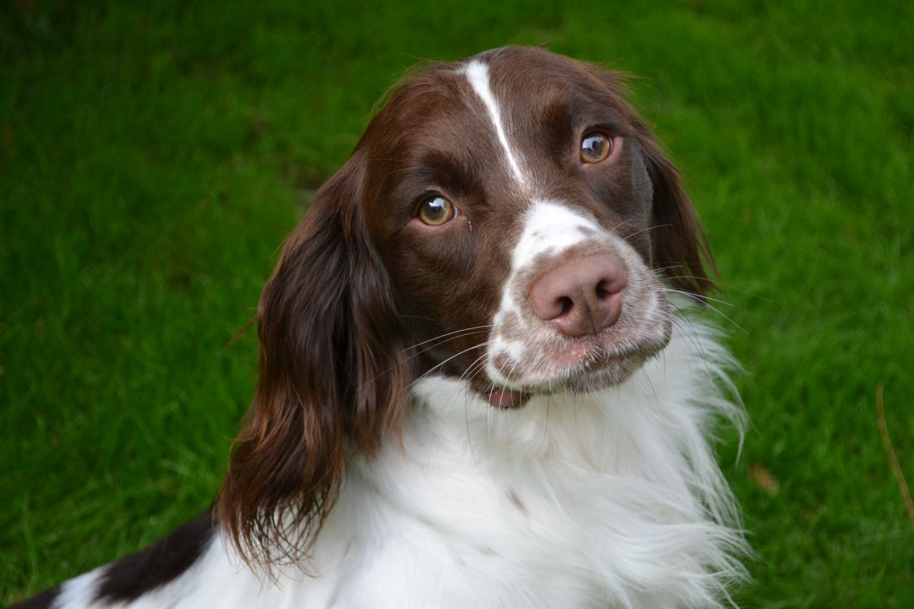English Springer Spaniel Dog: English English Springer Spaniel Dogsbitches Rochester Breed