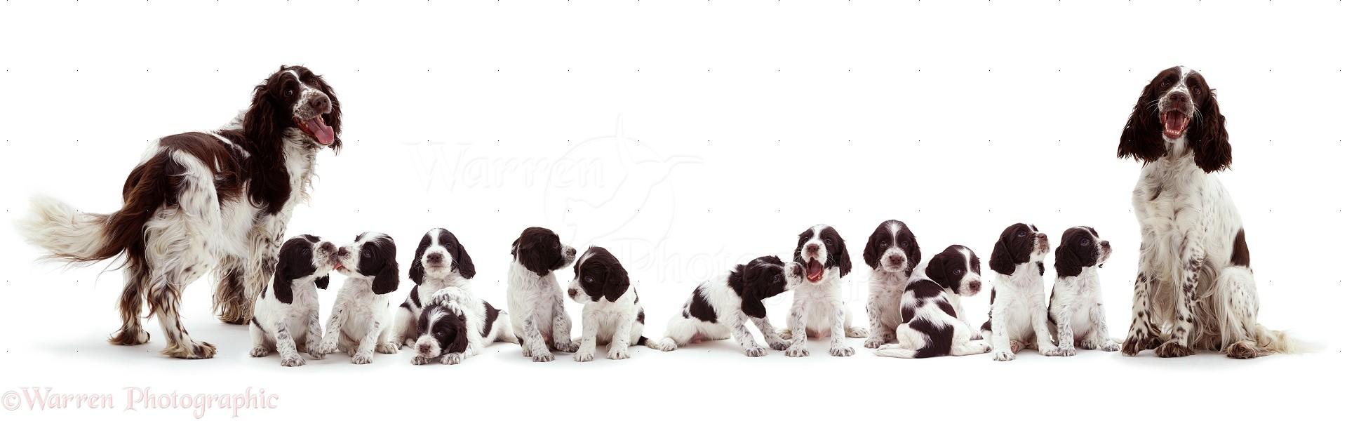 English Water Spaniel Puppies: English English Springer Spaniel Family Breed