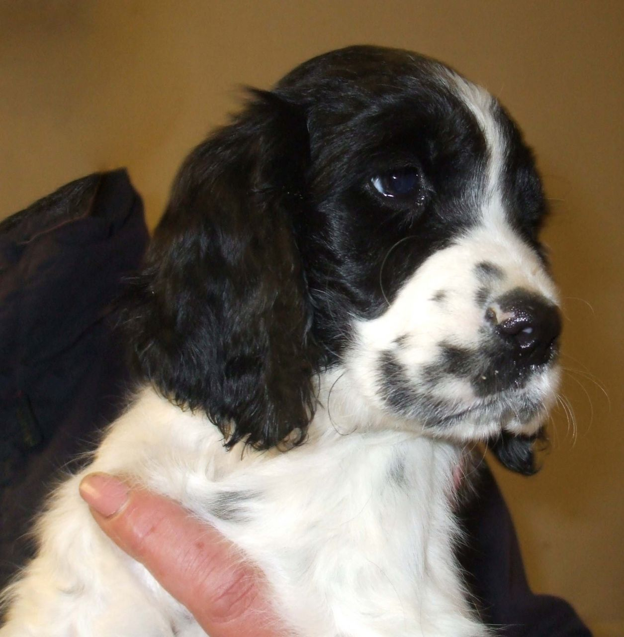 English Springer Spaniel Puppies Puppy Dog Gallery
