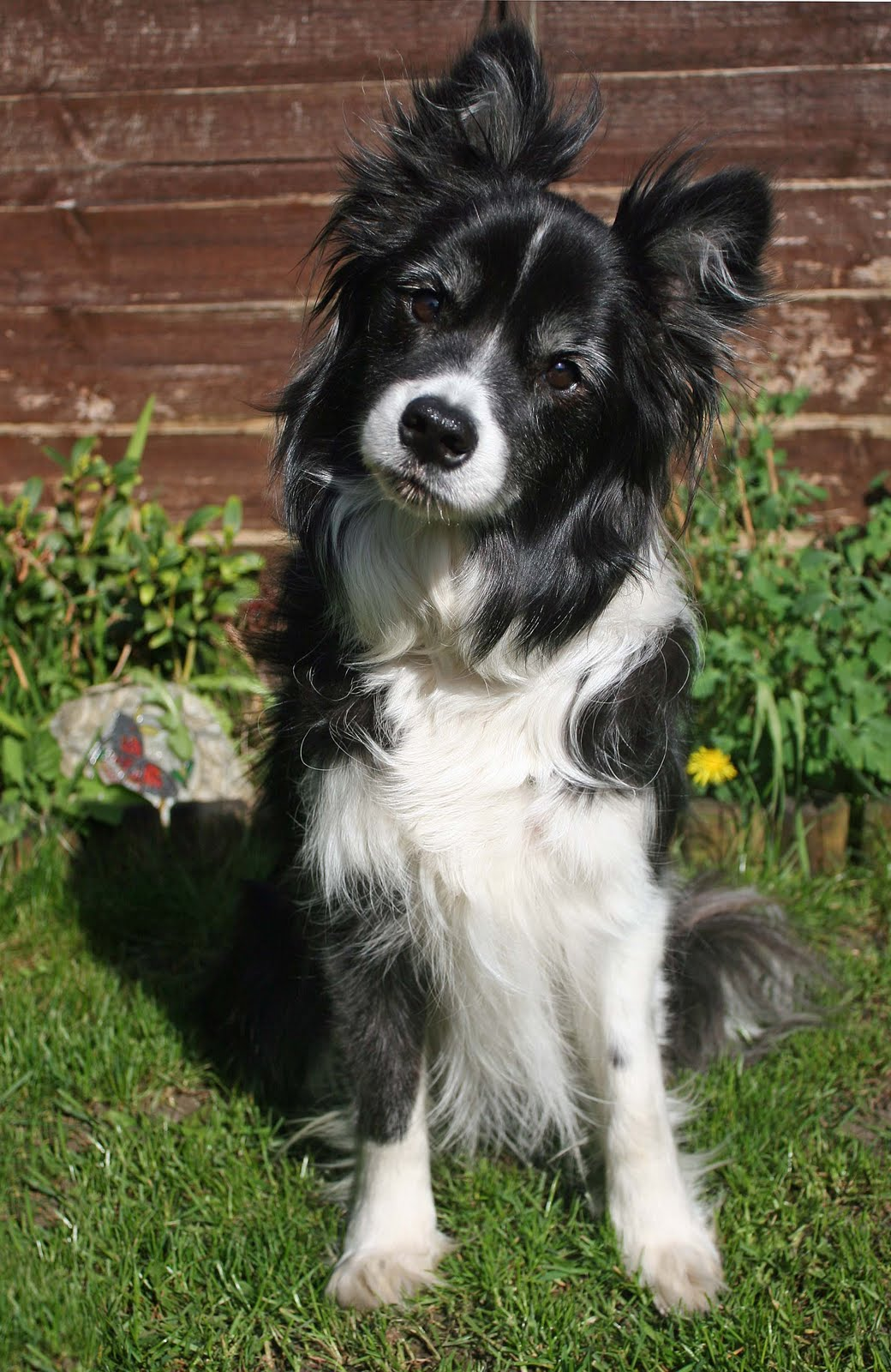English Shepherd Dog: English Funny English Shepherd Dog Breed