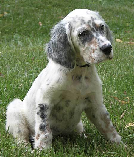 English Setter Puppies: English Hannah The English Setter Breed
