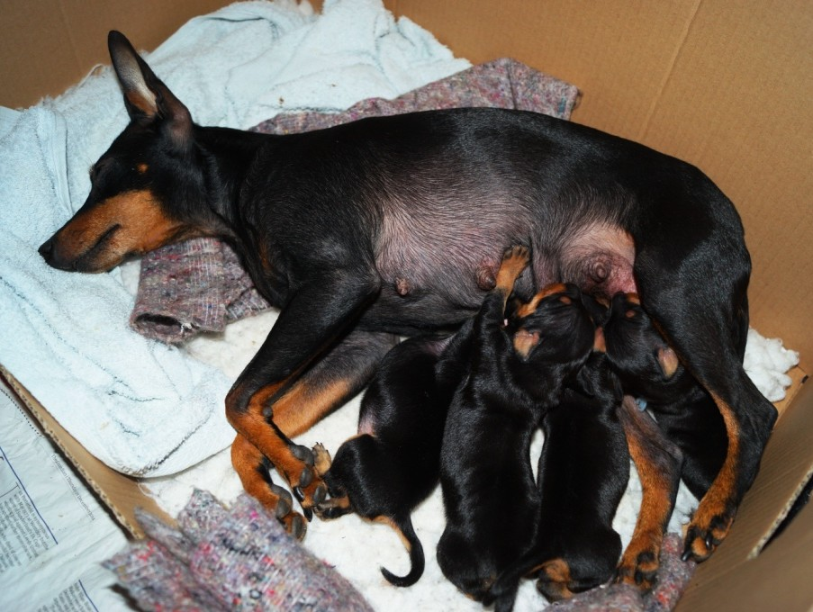 English Toy Terrier (Black & Tan) Puppies: English Index Breed
