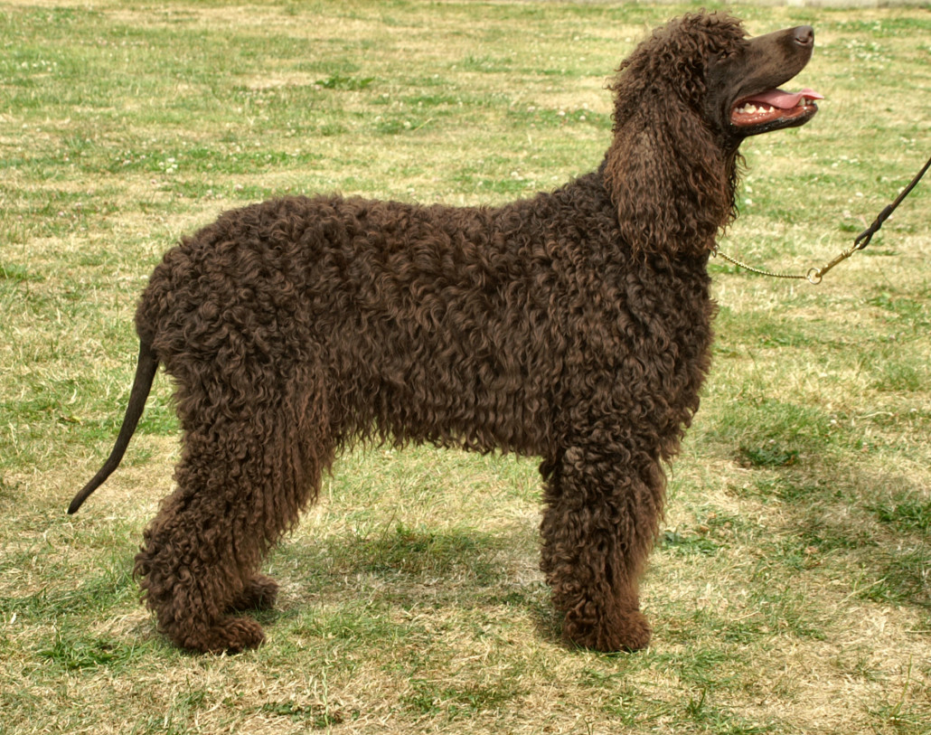 English Water Spaniel Puppies: English Irish Water Spaniel Breed
