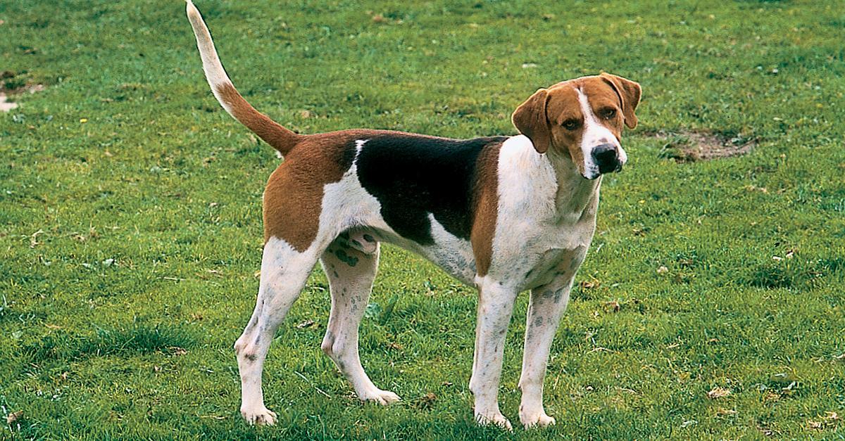 English Foxhound Dog: English Large Dog Breeds English Foxhound