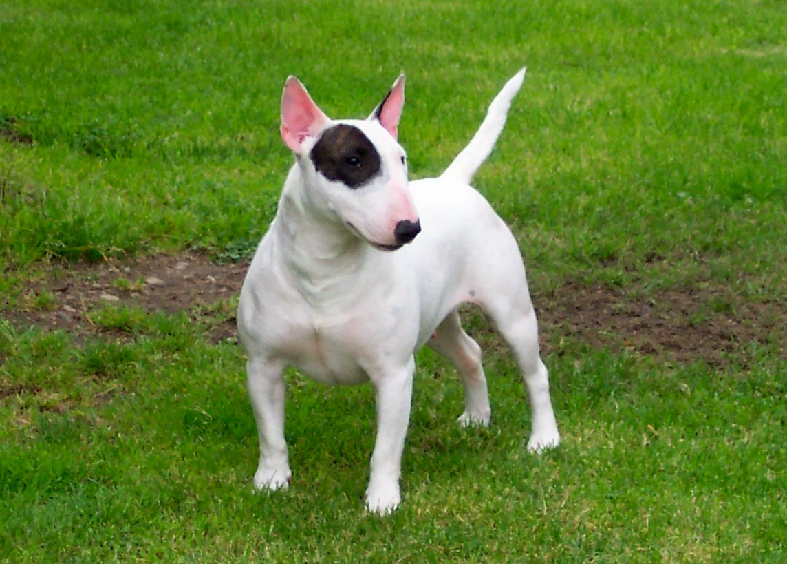 English White Terrier Puppies: English Miniature Bull Terrier Breed