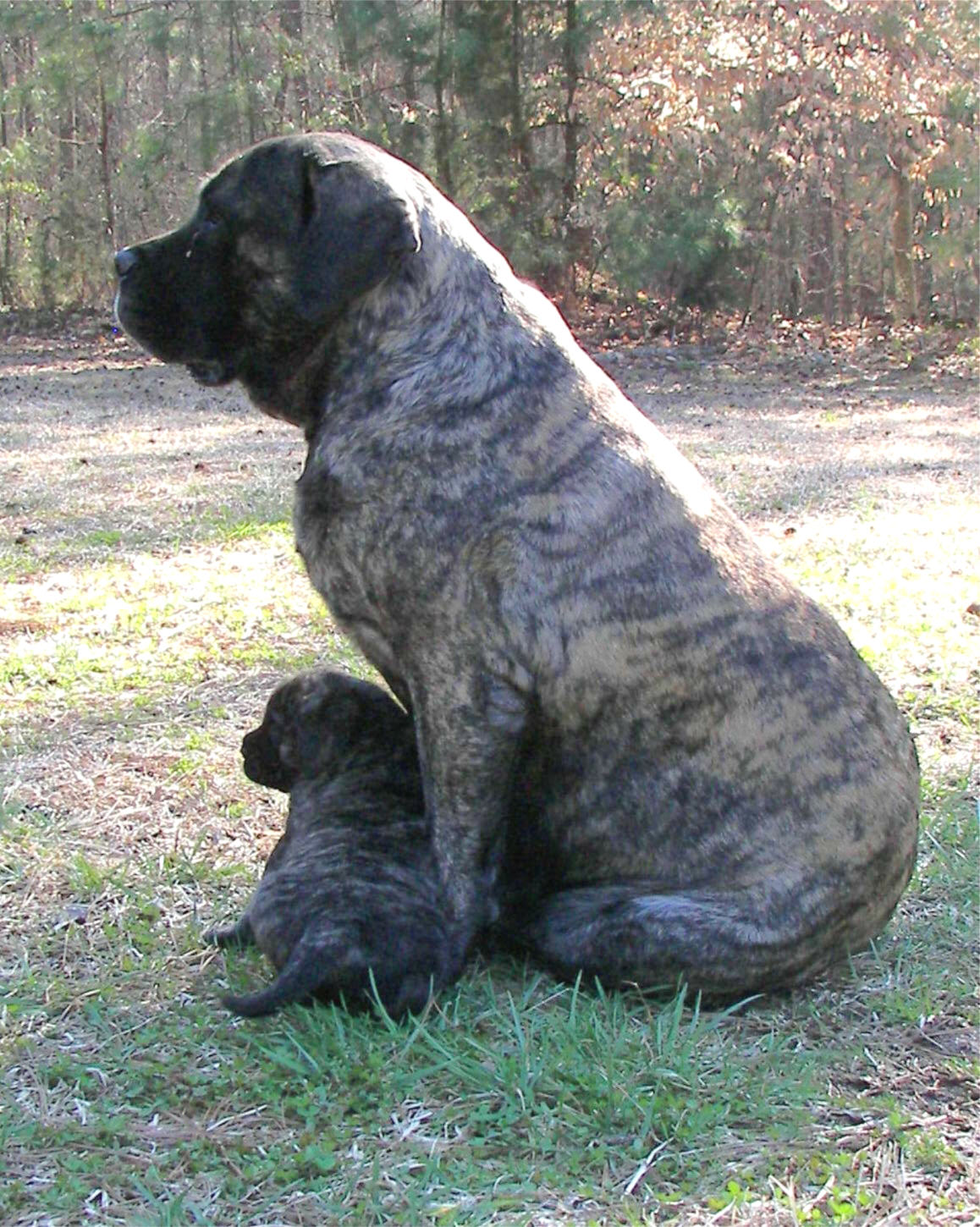 English Mastiff Puppies: English Past Puppies Breed
