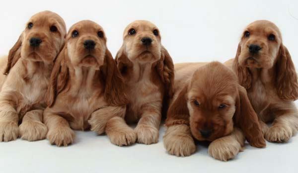 English Cocker Spaniel Puppies: English Puppies Breed