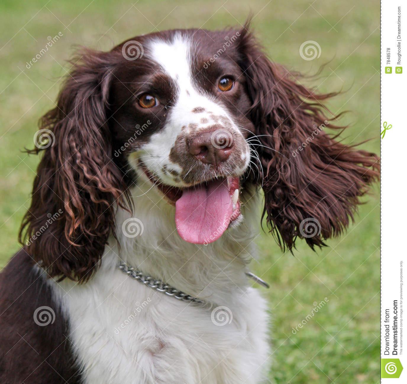 English Springer Spaniel Dog: English Royalty Free Stock S Happy Dog English Springer Spaniel Breed